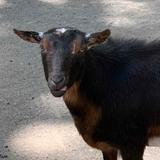 Avatar of Goats