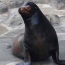 Avatar of Diego the Sea Lion
