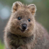 Avatar of Quokka The Happiest Animal In The World