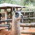 Avatar of Fiesta the Llama at Houston Zoo