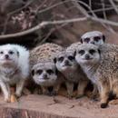 Avatar of Meerkat Mob - Adelaide Zoo
