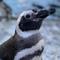 Avatar of Penguins - Aquarium Of The Pacific