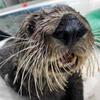 Avatar of Sea Otters at Aquarium of the Pacific