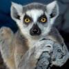 Avatar of Ring Tailed Lemur Family