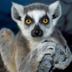 Avatar of Ring Tailed Lemur Family
