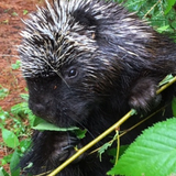 Avatar of Henry the Porcupine
