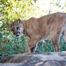 Avatar of Shasta the Cougar at Houston Zoo