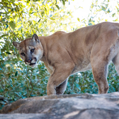 Avatar of Shasta the Cougar at Houston Zoo