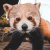 Avatar of Nam Pang the Red Panda