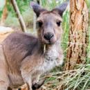Avatar of Kangaroo
