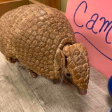 Avatar of Gwen the Three-Banded Armadillo