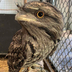 Avatar of Darwin the Tawny Frogmouth