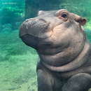 Avatar of Fiona the Hippo
