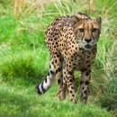 Avatar of Cheetahs At The Houston Zoo