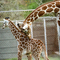 Avatar of Giraffe