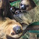Avatar of Sloths Nero & Lunesta at Stone Zoo