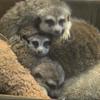 Avatar of Meerkat Family