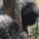 Avatar of Porcupines Fezzik & Tarth at Stone Zoo