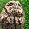 Avatar of Owlfredo The Eastern Screech Owl