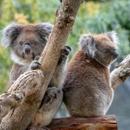 Avatar of Sophie & Louise Koalas