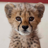 Avatar of Kris The Cheetah