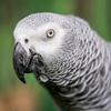 Avatar of Einstein African Grey Parrot