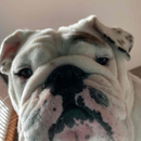 Avatar of Eggnog The Bulldog
