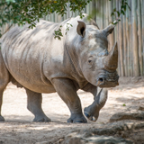 Avatar of Rhinos at Houston Zoo