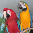 Avatar of Macaws Rockwell & Cusco at Stone Zoo