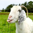 Avatar of Juno the Goat