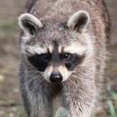Avatar of Ralph the Raccoon