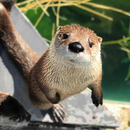 Avatar of North American River Otters