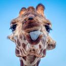 Avatar of Giraffes at Phoenix Zoo
