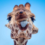 Avatar of Giraffes at Phoenix Zoo
