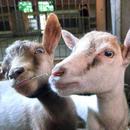 Avatar of Pygmy Goats