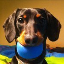 Avatar of Crusoe the Dachshund
