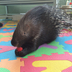 Avatar of Bintu the African Crested Porcupine
