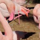 Avatar of Flamingos