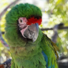 Avatar of Radio the Military Macaw