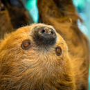 Avatar of Curly the Sloth at Houston Zoo