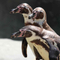 Avatar of Penguins at Philadelphia Zoo