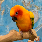 Avatar of Lucy the Sun Conure